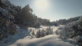Воздушное фотографирование взгляда сверху леса зимы покрытых снег сосен Высокие деревья в снеге сток-видео
