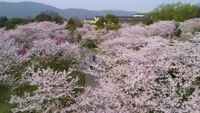 Воздушное фотографирование - китайско-японский сад вишни приятельства сток-видео