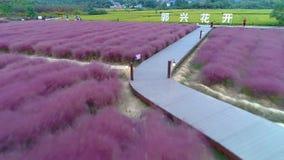 Воздушное фотографирование - розовая трава сток-видео