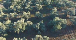 Воздушные оливковые дерева сток-видео