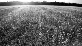 Воздушный боковой полет 4K над полем сурепки Солнце светит, низко на горизонте na górze деревьев Красивое черно-белое акции видеоматериалы