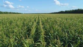 Воздушный отснятый видеоматериал трутня Летать над золотым кукурузным полем в красивых сельскохозяйственных угодьях Движение съем сток-видео