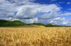 возмужалая пшеница стоковое изображение