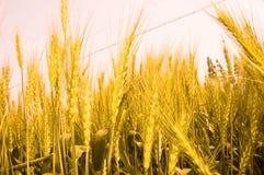 возмужалая пшеница стоковые изображения