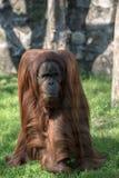 Возмужалый орангутан Стоковое Изображение