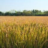 возмужалый рис стоковое изображение rf