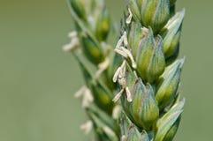 возьмите пшеницу на острие Стоковые Фотографии RF