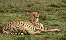 Возлежать гепарда Стоковые Изображения RF