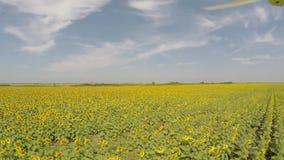 Воздушное поле солнцецвета 4K осмотренное от воздуха в ярком, солнечном утре, с голубыми небесами с разбросанными облаками - мало акции видеоматериалы