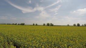 Воздушное поле солнцецвета 4K осмотренное от воздуха в ярком, солнечном утре, с голубыми небесами с разбросанными облаками - мала акции видеоматериалы