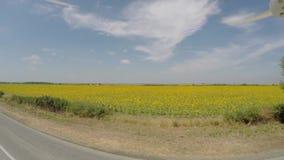 Воздушное поле солнцецвета 4K осмотренное от воздуха в ярком, солнечном утре, с голубыми небесами с разбросанными облаками - мала видеоматериал