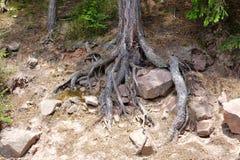 Воздушные корни Стоковые Фото
