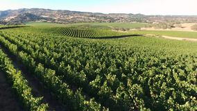 Воздушный виноградник панорамы видеоматериал