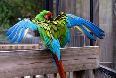 Воинские крыла птицы ары раскрывают стоковое фото rf