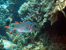 воин укрытия рыб Стоковые Фото