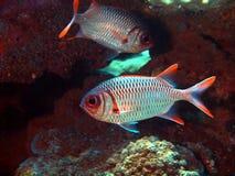 воин укрытия рыб Стоковые Фотографии RF