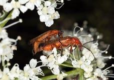 воин rhagonycha fulva жуков сопрягая Стоковые Изображения