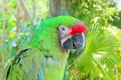 воиска militaris macaw ara зеленые parrot стоковые изображения rf
