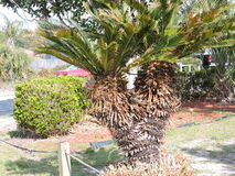 двойная пальма Стоковое Фото