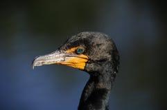 двойник crested cormorant стоковые фото