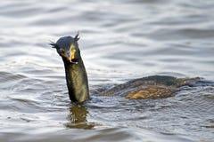 двойник crested cormorant стоковые фотографии rf