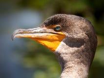 двойник crested cormorant Стоковые Изображения
