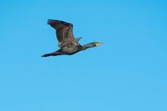 двойник crested cormorant Стоковые Изображения RF