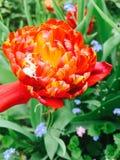 двойной тюльпан стоковая фотография rf