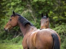 2 двойных лошади оба смотря камеру Стоковая Фотография