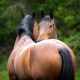 2 двойных лошади стоя около одина другого Стоковое Изображение
