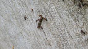 Войск муравья пробуя к видеоматериал