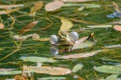 Вокальные sacs мужской лягушки Стоковая Фотография RF