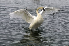 вокруг лебедя flapping Стоковое фото RF