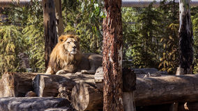 14 20 вокруг могут звеец в реальном маштабе времени лет львов льва плена излишек одичалый Стоковые Фотографии RF