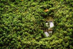 вокруг окна плюща Стоковая Фотография