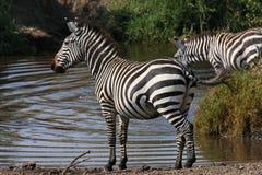 вокруг смотреть зебру Стоковая Фотография