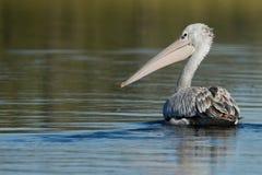 вокруг смотреть пеликана Стоковое Изображение RF