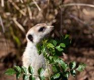 вокруг смотреть прищурясь meerkat листьев малый Стоковая Фотография RF