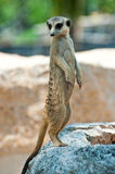 вокруг смотреть meerkat Стоковые Изображения RF