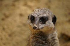 вокруг смотреть meerkat Стоковое Изображение