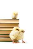 вокруг цыплят книг Стоковое Изображение