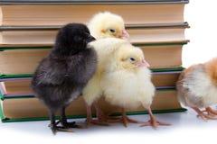 вокруг цыплят книг Стоковое Изображение RF