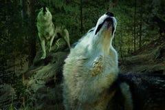 Волки завывают в сосновом лесе стоковые фото