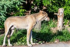 Волки идут в зоопарк стоковая фотография rf