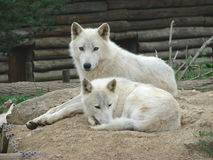 волки пар Стоковые Фото