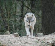 волки Стоковые Изображения