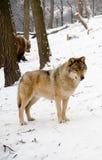 Волки Стоковые Фото
