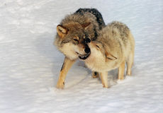волки Стоковая Фотография
