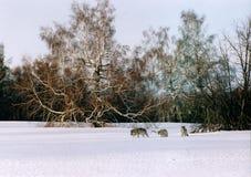волки Стоковое фото RF