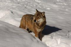 волк волчанки canis серый стоковое изображение